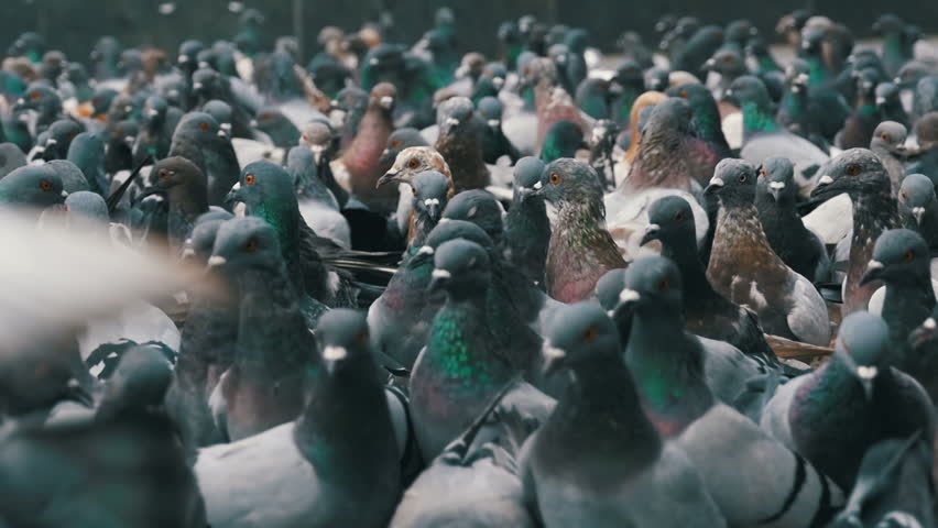 Huge Flock of Pigeons Take off on the City Street. Slow Motion in 96 fps. Thousands of pigeons crowd on sidewalk. Lot of pigeons eat food on the street. Feeding Pigeons on the sidewalk in the park. | Shutterstock HD Video #32889337