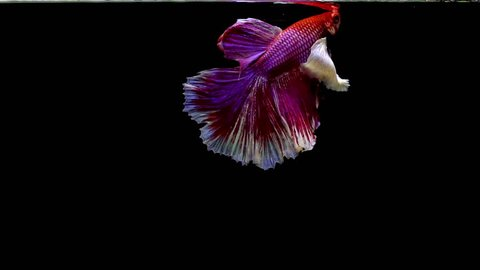 Colorful Half Moon Thai Fighting Fish or better known as Siamese fighting fish Betta Splendens in super slow motion on isolated black background