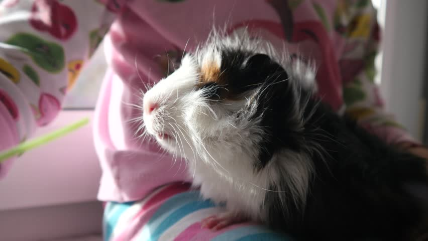 Kid Girl Play Feed Cavy Guinea Pig Chewing The Parsley Sprig Pet Animal In Childhood