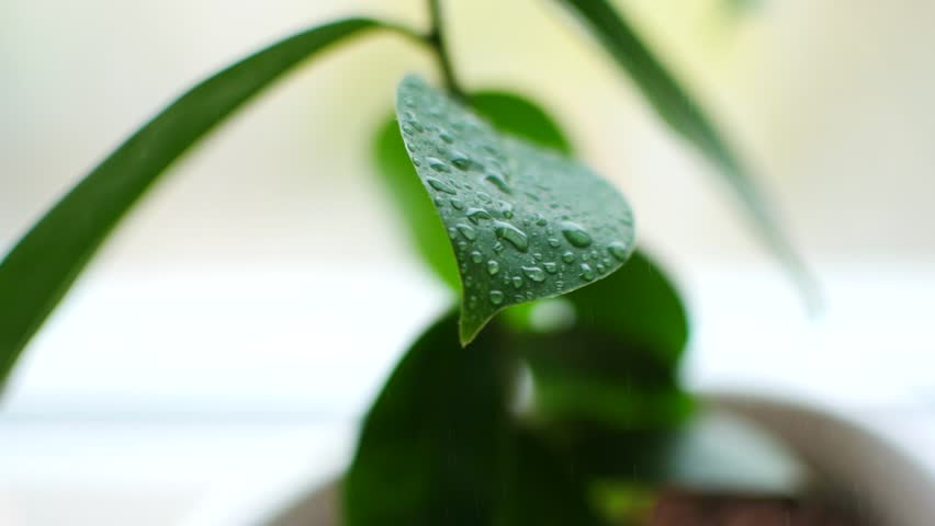 A plant on the window. Drops of water fall on the green leaves