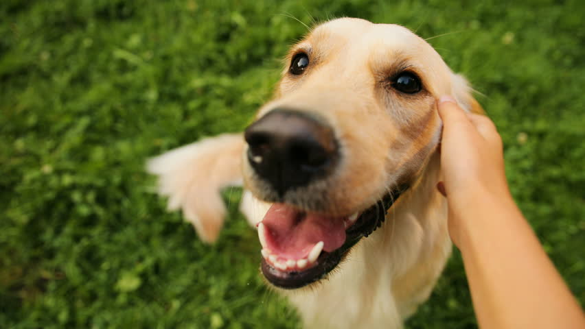 Close up. A portrait of a labrador dog being caressed by a teen girl. View of hands and a dog. Green grass background. POV | Shutterstock HD Video #32979487
