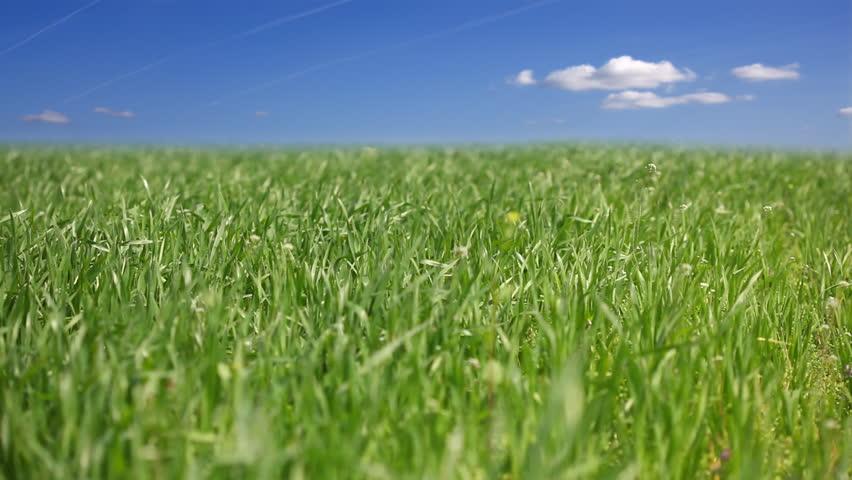 A green field under a beautiful summer sky, grass moving on the breeze