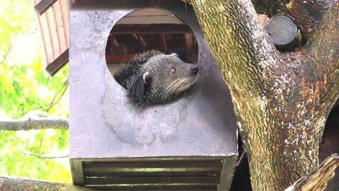 Binturong, Bearcat (Arctictis binturong)