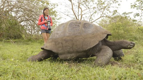 Galapagos Giant Tortoise and woman tourist on Santa Cruz Island in Galapagos Islands. Animals, nature and wildlife video close up of tortoise in the highlands of Galapagos, Ecuador, South America.
