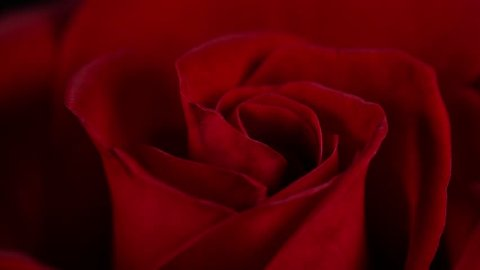 Super macro Slowly revolving deep red rose whit crystal clear water drops on it