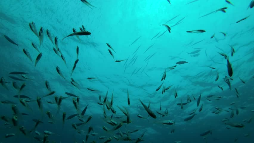School of Glass fish swims under surface of water - Indian Ocean, Maldives | Shutterstock HD Video #33057373