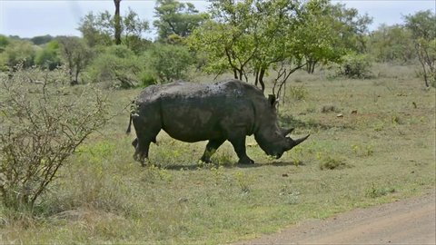 KRUGER NATIONAL PARK, SOUTH AFRICA - NOVEMBER 9, 2013: Wild rhino crossing a road in Kruger National Park, watched by visitors in a car. Visitors must stay inside the vehicle when exploring Wildlife.