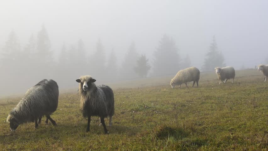 Herd of sheeps in foggy autumn meadows. Pasture in a fog. Carpathian mountains, Ukraine, Europe