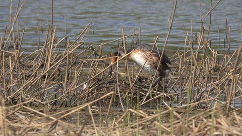 Great crested grebe (Podiceps cristatus) bird corrects the laying of eggs and sits on the nest