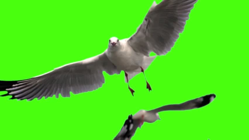seagull flying on Green screen
