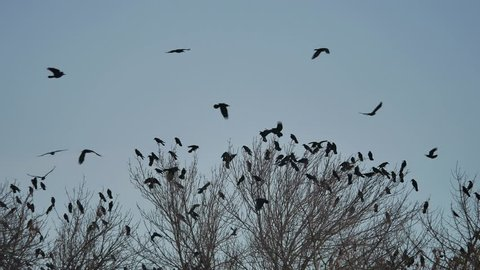 flock of birds taking off from a tree, a flock of crows black bird dry tree