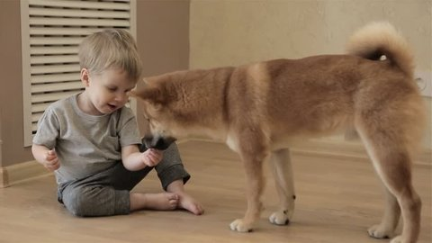 Shiba inu huge dog coming to a happy child. Baby boy is feeding his puppy with the hands at home