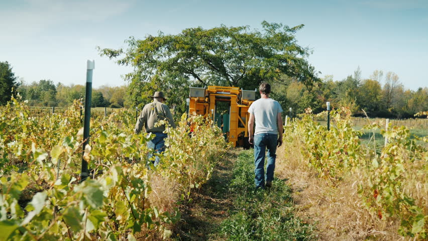 Two farmers go through the vineyard. Ahead is a grape harvesting machine. slo mo