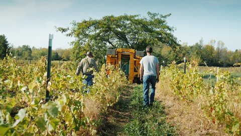 Two farmers go through the vineyard. Ahead is a grape harvesting machine. slo mo