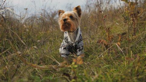 Portrait of a little dog weared in suit barking in a grass. 4K.