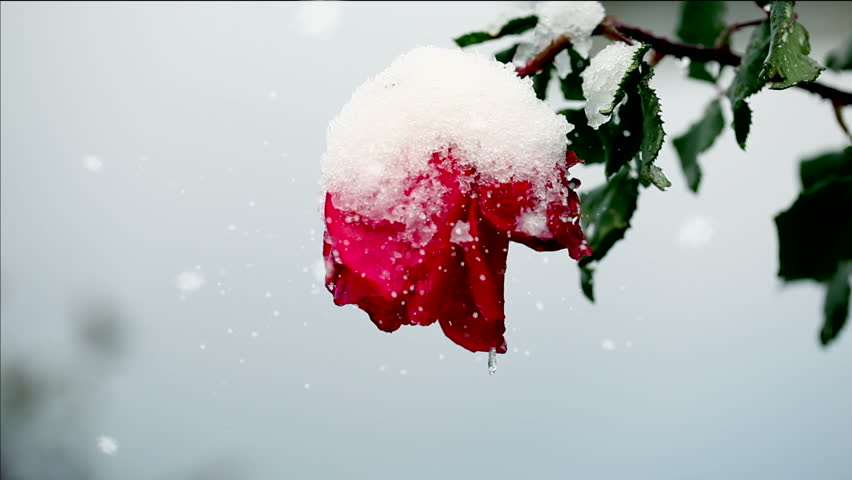 Closeup of a red rose covered of snow while it's softly snowing.