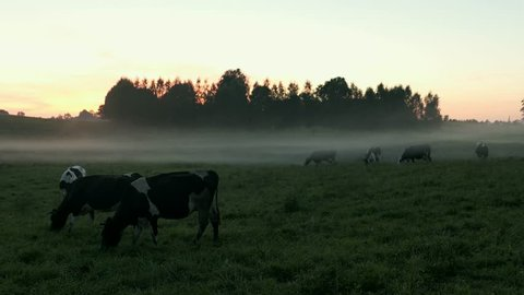 Herd of Dairy Cows on Foggy Pasture at Sunset