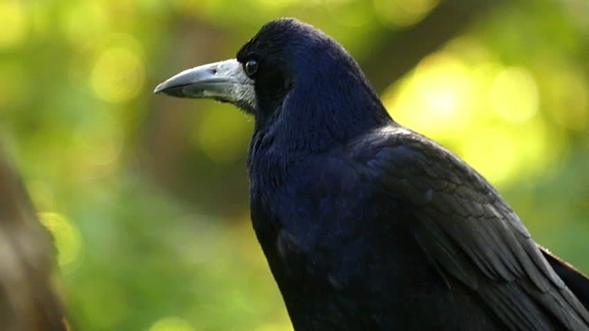 A Funny Crow Turns Its Stock Footage Video 100 Royalty Free