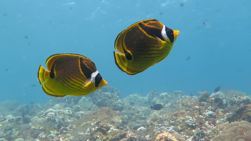 Couple of yellow black raccoon butterflyfish swimming in the shallow blue water of the tropical exotic sea. Healthy coral reef bottom with soft and hard corals. Video from scuba diving and snorkeling.