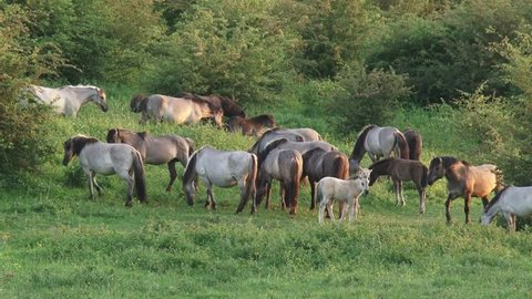 Herd of konik horses graze and run in Dutch river landscape. Semi-wild herds of koniks can be seen today in many nature reserves.