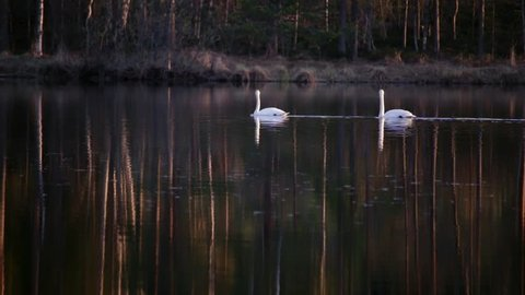 Two whooper swans swimming at a calm lake in evening.