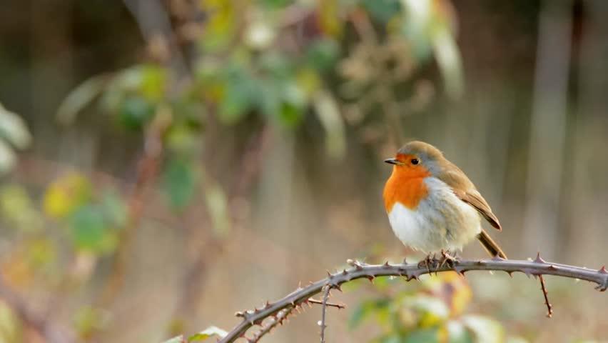 European Robin, Erithacus rubecula, Robin, Birds | Shutterstock HD Video #33475207