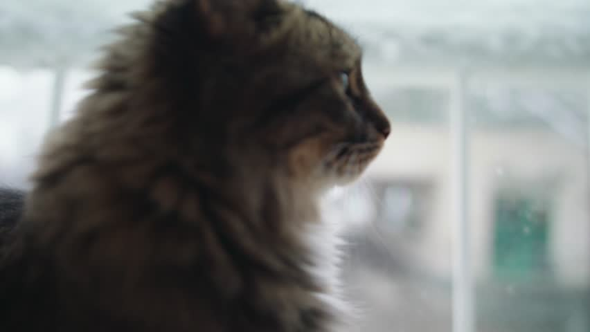 Angora cat in front of a windows goes out of shot