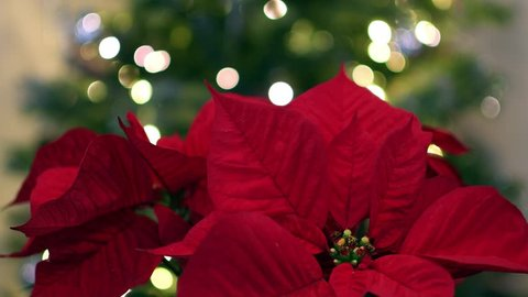Poinsettia plant with Christmas Tree lights in the background
