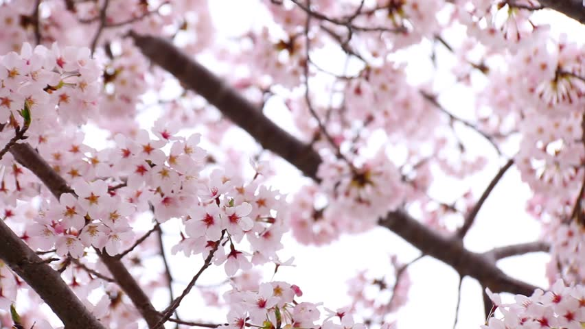 Beautiful birds with cherry blossom pink sakura flower stok video cherry blossoms full hd stock footage clip mightylinksfo
