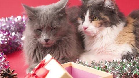 SLOW MOTION: Nebelung cat and Turkish Angora in a celebratory setting with a gift. Birthday, Christmas, New Year, anniversary celebration concept.