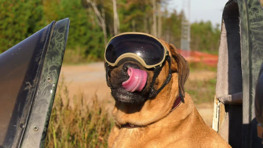 mastiff dog wearing goggles in motorcycle sidecar 4k