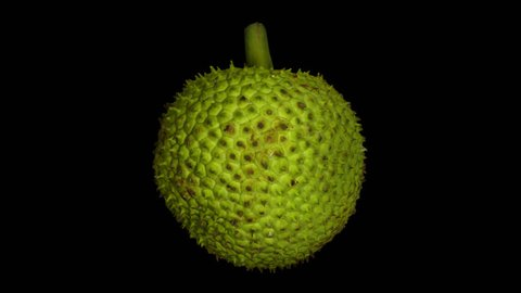 Realistic render of a rotating breadfruit on transparent background (with alpha channel). The video is seamlessly looping, and the object is 3D scanned from a real fruit.