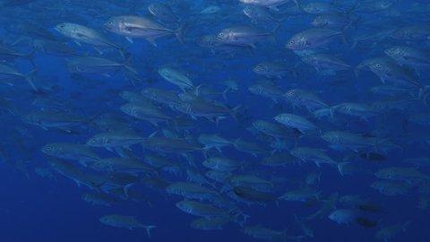 4K | Trevallies, Trevally, Jacks, Mackrels I Huge School of Fish I Tropical Marine Life