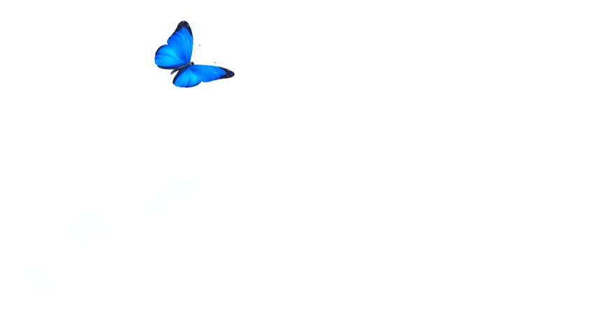 1080 HD Animated Butterfly With Alpha Matte Stock Footage Video 3363347