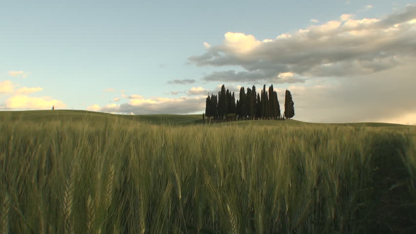 Group of cypresses as the sun starts to set in the Tuscan Val d'Orcia in the province of Siena, Italy
