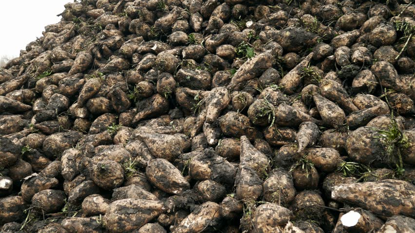 Harvest sugar beet in a country field. Fresh sugar beets on the field farm after dug out from the ground