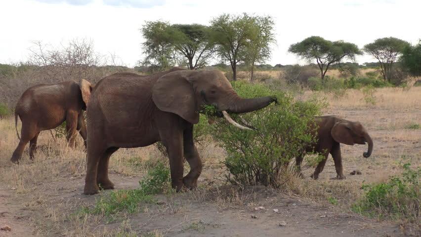 Elephants in the Tarangire National Park, Tanzania