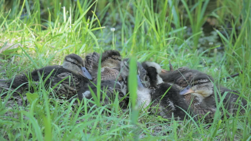 Family of ducks next to each other combing, holidaymakers   Shutterstock HD Video #33736717