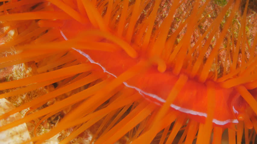 Electric flame scallop, disco scallop, electric clam, disco clam, Ctenoides ales