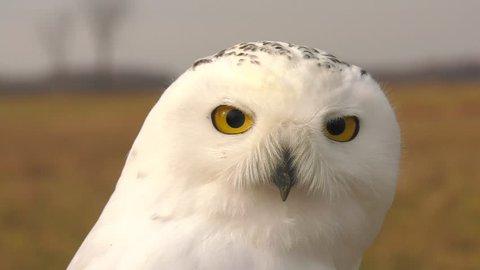 snowy owl is a majestic bird of prey 4k