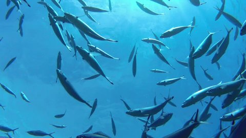 A school of striped Mackerel feeding in the Red Sea, Egypt