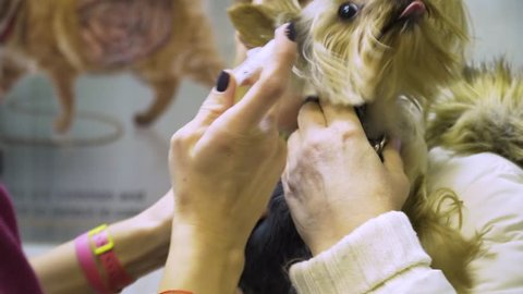 Veterinarian does the vaccination, injecting the dog into the veterinary clinic. Veterinarian vaccinating cat in clinic. Veterinarian is examining cute dog at vet clinic. Preparing to make an
