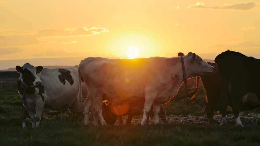 Free Cow Stock Video Footage Download 4K HD 62 Clips