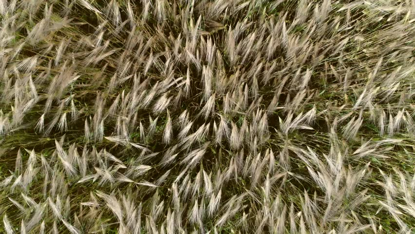 Aerial top down footage of wheat field showing golden grain crops slowly moved by wind wheat is grass widely cultivated for its seed a cereal grain which is a worldwide staple food 4k resolution