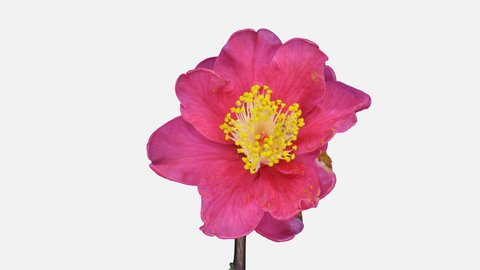 Time-lapse of dying red camellia flower 1a4w in 4K PNG+ format with ALPHA transparency channel isolated on white background
