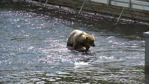 Kodiak Alaska Brown Bear Salmon Fishing