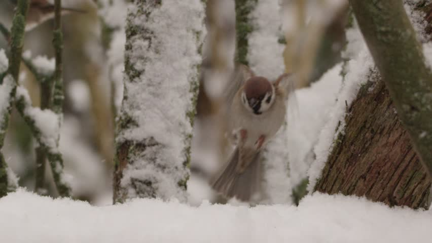 field sparrow in winter - red epic footage. slo mo