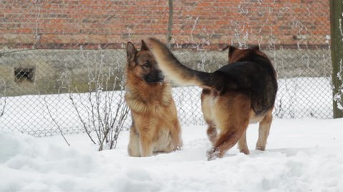 winter mating dogs,breed german shepherd dog in winter mating
