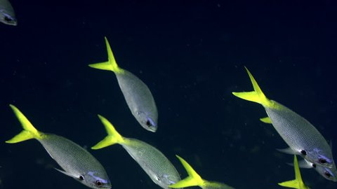 a school of Yellowtail fusilier, Caesio cuning, WAKATOBI, Indonesia, slow motion
