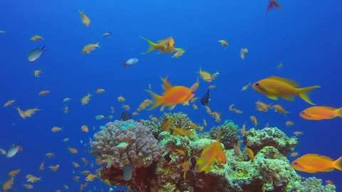 Beautiful Red Sea Orange Fish. Picture of a wonderful and beautiful underwater colorful fishes scalefin anthias fish in the tropical reef of the Red Sea, Dahab, Egypt.